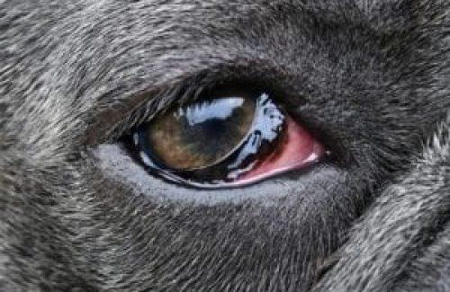 irritated-dog-eye-300x225